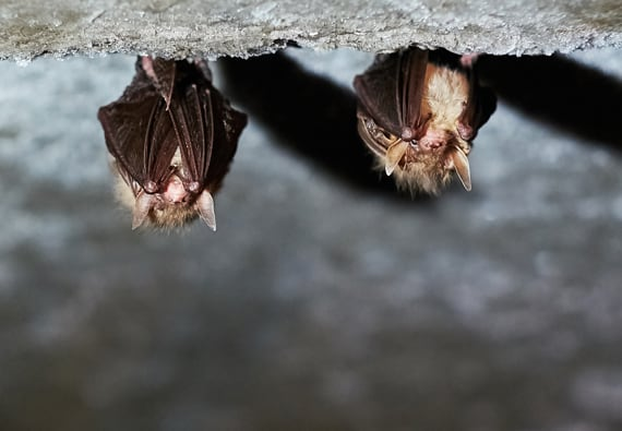 Is Bat Guano Dangerous? Pictures & Information