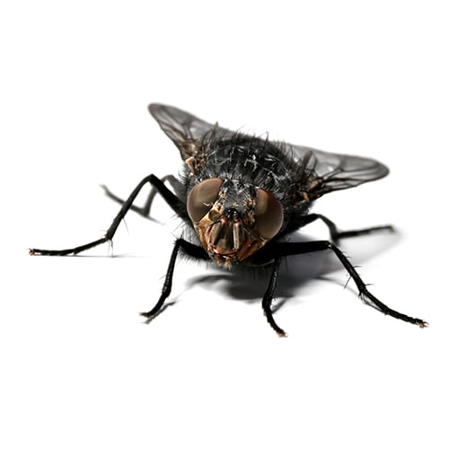 How To Get Rid Of Flies Updated For 2021