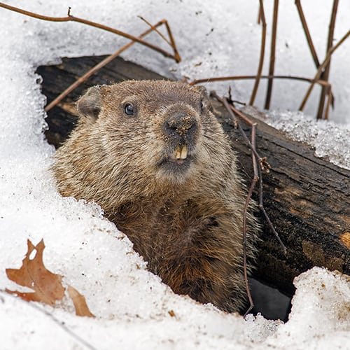getting rid of groundhogs