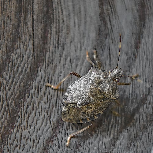Can Stink Bugs do Structural Damage?